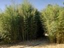 Identificat a l'Arborètum un parasitoide de pugó del bambú nova al continent europeu